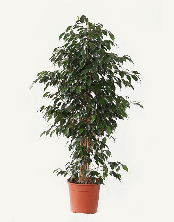 Ficus Benjamin Vaso 27